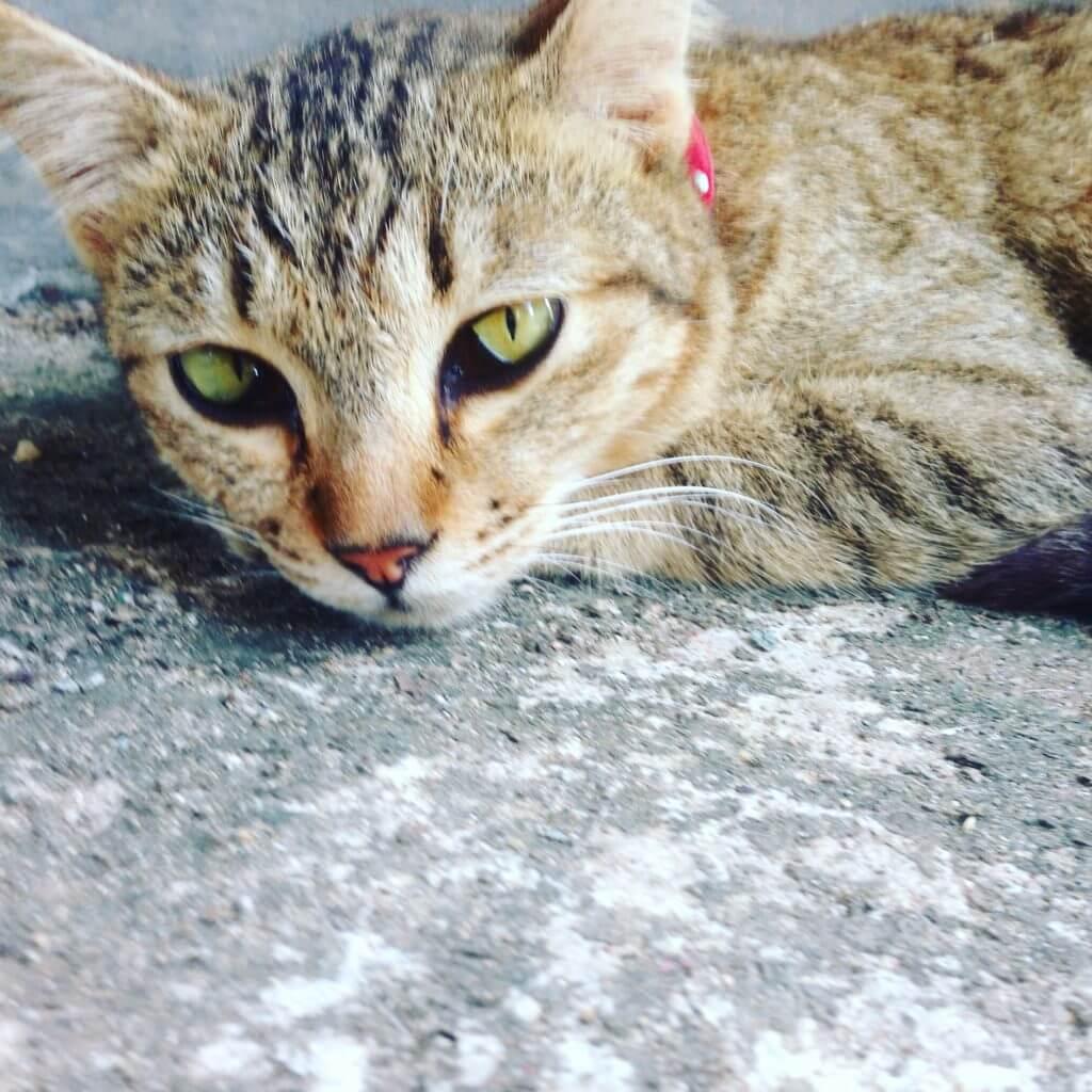 Cat at Koh Lanta Animal Welfare