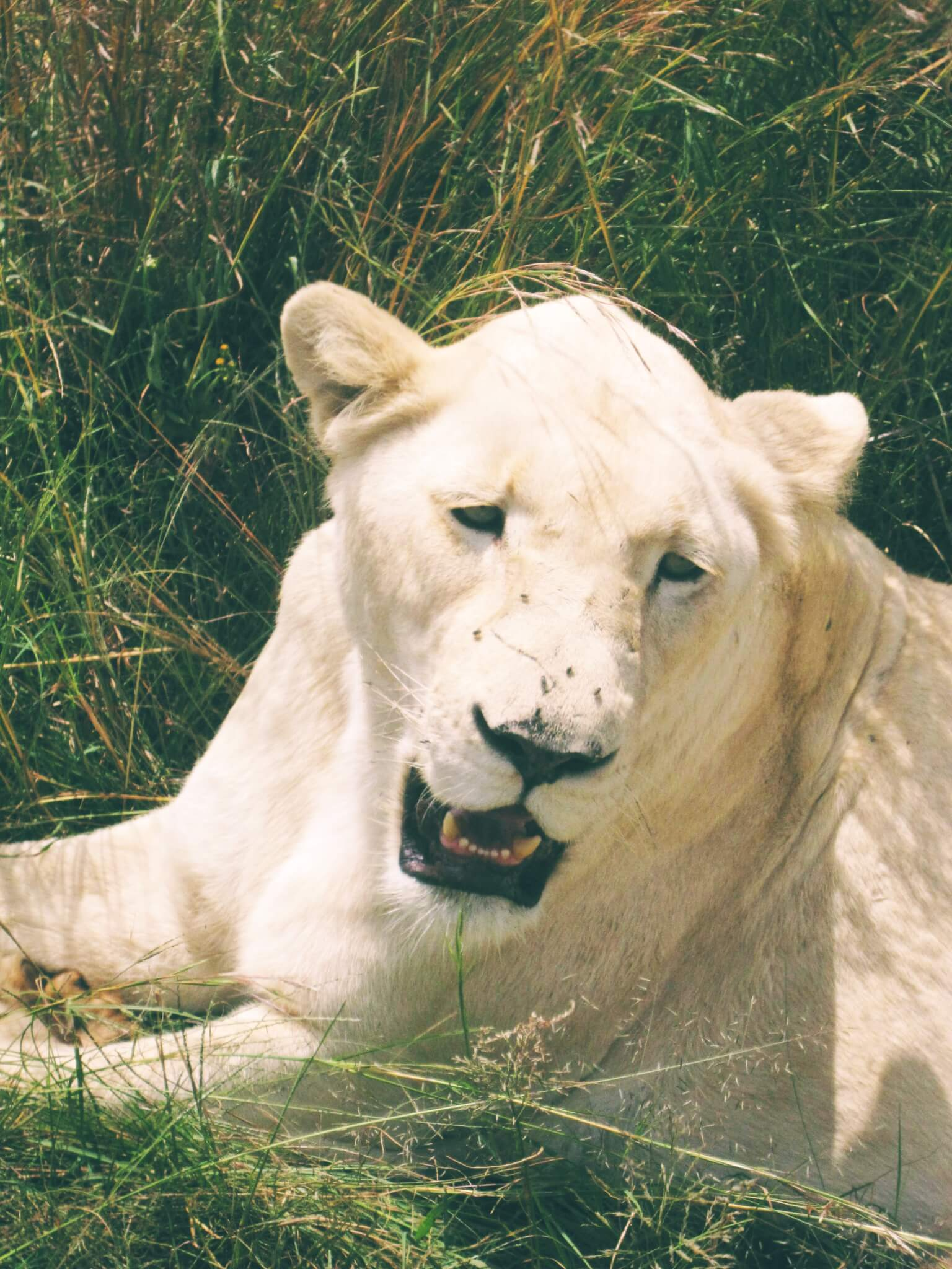 White lioness roaring   Animal Tourism
