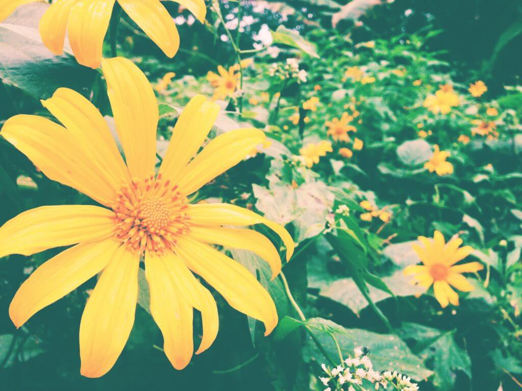 Gorgeous yellow flowers in Chiang Dao | Go to Thailand