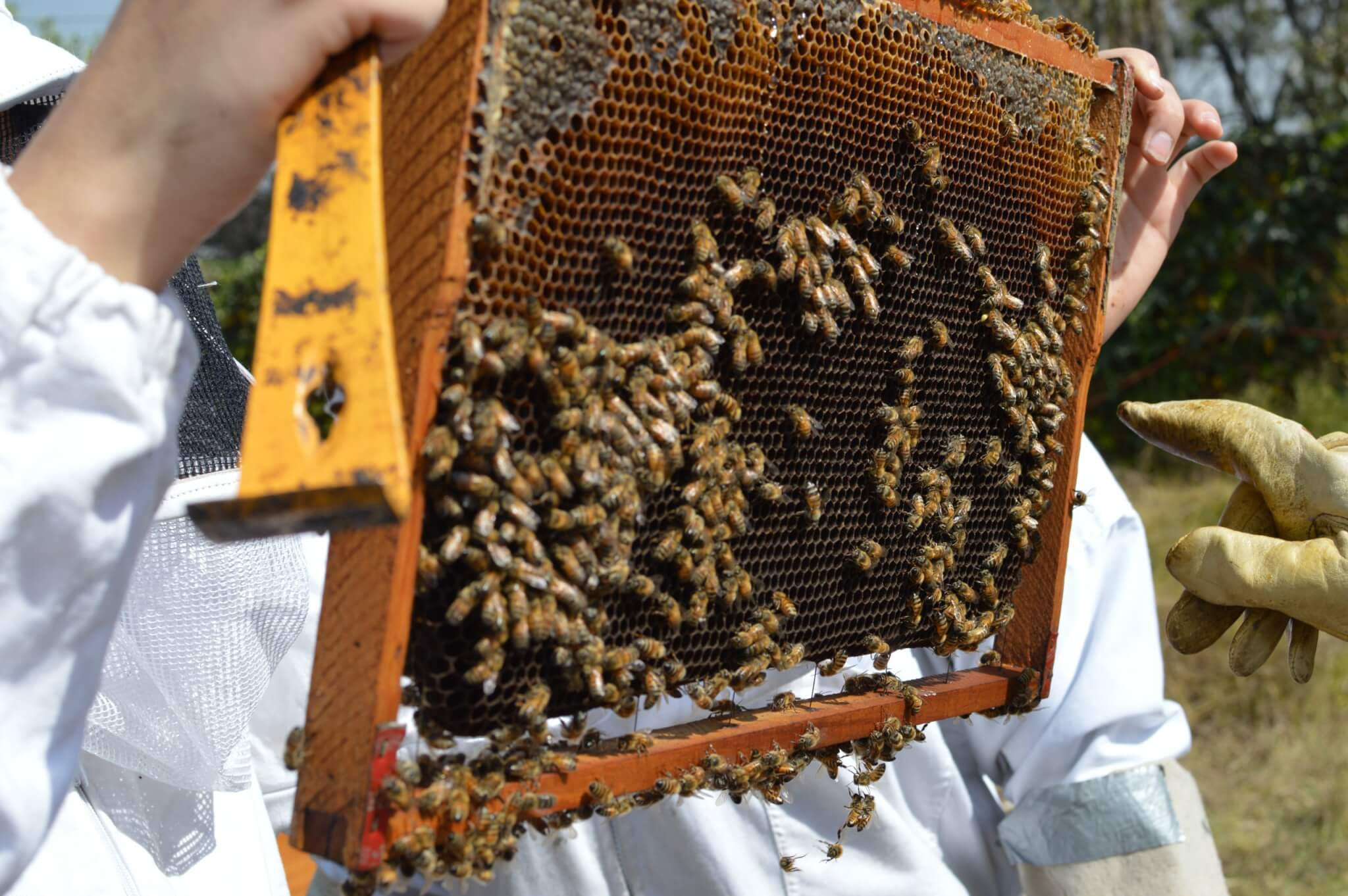Bees on a Hive Frame | Beekeeping Experience in Mexico City